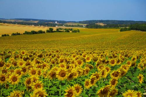 Fields of sunflowers in northern Burgundy