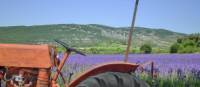 Most lavender is in bloom in Provence by late June